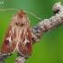 Pievinis pelėdgalvis - Cerapteryx graminis    Fotografijos autorius : Arūnas Eismantas   © Macrogamta.lt   Šis tinklapis priklauso bendruomenei kuri domisi makro fotografija ir fotografuoja gyvąjį makro pasaulį.