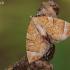 Miškinis juostasprindis - Eulithis testata | Fotografijos autorius : Arūnas Eismantas | © Macrogamta.lt | Šis tinklapis priklauso bendruomenei kuri domisi makro fotografija ir fotografuoja gyvąjį makro pasaulį.