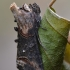 Rusvasis pilkūnas - Abrostola triplasia | Fotografijos autorius : Arūnas Eismantas | © Macrogamta.lt | Šis tinklapis priklauso bendruomenei kuri domisi makro fotografija ir fotografuoja gyvąjį makro pasaulį.