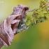 Eucarta virgo - Baltajuostė eukarta   Fotografijos autorius : Arūnas Eismantas   © Macrogamta.lt   Šis tinklapis priklauso bendruomenei kuri domisi makro fotografija ir fotografuoja gyvąjį makro pasaulį.