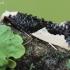 Monopis monachella - Kraštadėmis monopis | Fotografijos autorius : Arūnas Eismantas | © Macrogamta.lt | Šis tinklapis priklauso bendruomenei kuri domisi makro fotografija ir fotografuoja gyvąjį makro pasaulį.
