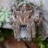Rudasis rezginuolis - Agalenatea redii  | Fotografijos autorius : Arūnas Eismantas | © Macrogamta.lt | Šis tinklapis priklauso bendruomenei kuri domisi makro fotografija ir fotografuoja gyvąjį makro pasaulį.