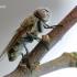 Pollenia sp. - Pilkoji lavonmusė | Fotografijos autorius : Arūnas Eismantas | © Macrogamta.lt | Šis tinklapis priklauso bendruomenei kuri domisi makro fotografija ir fotografuoja gyvąjį makro pasaulį.
