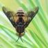 Chrysops sp. - Aklys | Fotografijos autorius : Arūnas Eismantas | © Macrogamta.lt | Šis tinklapis priklauso bendruomenei kuri domisi makro fotografija ir fotografuoja gyvąjį makro pasaulį.