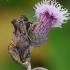Auksadėmis žvilgūnas - Lamprotes c-aureum | Fotografijos autorius : Arūnas Eismantas | © Macrogamta.lt | Šis tinklapis priklauso bendruomenei kuri domisi makro fotografija ir fotografuoja gyvąjį makro pasaulį.