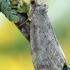 Ochropacha duplaris - Drebulinis pūkanugaris | Fotografijos autorius : Arūnas Eismantas | © Macrogamta.lt | Šis tinklapis priklauso bendruomenei kuri domisi makro fotografija ir fotografuoja gyvąjį makro pasaulį.