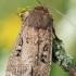 Graphiphora augur - Daržinis dirvinukas | Fotografijos autorius : Arūnas Eismantas | © Macrogamta.lt | Šis tinklapis priklauso bendruomenei kuri domisi makro fotografija ir fotografuoja gyvąjį makro pasaulį.