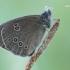 Tamsusis satyras - Aphantopus hyperantus | Fotografijos autorius : Arūnas Eismantas | © Macrogamta.lt | Šis tinklapis priklauso bendruomenei kuri domisi makro fotografija ir fotografuoja gyvąjį makro pasaulį.