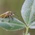 Rausvasparnė skydblakė - Carpocoris purpureipennis | Fotografijos autorius : Darius Baužys | © Macrogamta.lt | Šis tinklapis priklauso bendruomenei kuri domisi makro fotografija ir fotografuoja gyvąjį makro pasaulį.