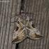 Baltajuostė eukarta - Eucarta virgo  | Fotografijos autorius : Darius Baužys | © Macrogamta.lt | Šis tinklapis priklauso bendruomenei kuri domisi makro fotografija ir fotografuoja gyvąjį makro pasaulį.