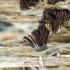 Rudasis šerpis - Stemonitis fusca | Fotografijos autorius : Darius Baužys | © Macrogamta.lt | Šis tinklapis priklauso bendruomenei kuri domisi makro fotografija ir fotografuoja gyvąjį makro pasaulį.