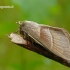 Macrothylacia rubi - Avietinis verpikas | Fotografijos autorius : Darius Baužys | © Macrogamta.lt | Šis tinklapis priklauso bendruomenei kuri domisi makro fotografija ir fotografuoja gyvąjį makro pasaulį.