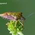 Carpocoris purpureipennis - Rausvasparnė skydblakė   Fotografijos autorius : Darius Baužys   © Macrogamta.lt   Šis tinklapis priklauso bendruomenei kuri domisi makro fotografija ir fotografuoja gyvąjį makro pasaulį.
