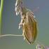 Aelia acuminata - Smailiagalvė skydblakė | Fotografijos autorius : Darius Baužys | © Macrogamta.lt | Šis tinklapis priklauso bendruomenei kuri domisi makro fotografija ir fotografuoja gyvąjį makro pasaulį.