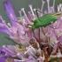 alocoris affinis – Žolblakė   Fotografijos autorius : Darius Baužys   © Macrogamta.lt   Šis tinklapis priklauso bendruomenei kuri domisi makro fotografija ir fotografuoja gyvąjį makro pasaulį.