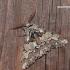 Biston strataria - Drebulinis šeriasprindis   Fotografijos autorius : Darius Baužys   © Macrogamta.lt   Šis tinklapis priklauso bendruomenei kuri domisi makro fotografija ir fotografuoja gyvąjį makro pasaulį.