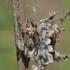 Larinioides cornutus - Nendrinis žnypliavoris | Fotografijos autorius : Darius Baužys | © Macrogamta.lt | Šis tinklapis priklauso bendruomenei kuri domisi makro fotografija ir fotografuoja gyvąjį makro pasaulį.
