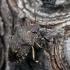 Rhacognathus punctatus - Taškuotoji skydblakė   Fotografijos autorius : Darius Baužys   © Macrogamta.lt   Šis tinklapis priklauso bendruomenei kuri domisi makro fotografija ir fotografuoja gyvąjį makro pasaulį.