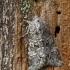 Papestra biren - Palinis pelėdgalvis | Fotografijos autorius : Darius Baužys | © Macrogamta.lt | Šis tinklapis priklauso bendruomenei kuri domisi makro fotografija ir fotografuoja gyvąjį makro pasaulį.