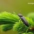 Gluosninis spragšis - Cidnopus aeruginosus | Fotografijos autorius : Darius Baužys | © Macrogamta.lt | Šis tinklapis priklauso bendruomenei kuri domisi makro fotografija ir fotografuoja gyvąjį makro pasaulį.