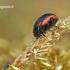 Chrysolina sanguinolenta - Linažolinis puošnys | Fotografijos autorius : Darius Baužys | © Macrogamta.lt | Šis tinklapis priklauso bendruomenei kuri domisi makro fotografija ir fotografuoja gyvąjį makro pasaulį.
