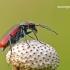 Malachius aeneus - Žaliasis pūsliavabalis | Fotografijos autorius : Darius Baužys | © Macrogamta.lt | Šis tinklapis priklauso bendruomenei kuri domisi makro fotografija ir fotografuoja gyvąjį makro pasaulį.