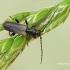 Pušinis luobatašis - Tetropium fuscum | Fotografijos autorius : Darius Baužys | © Macrogamta.lt | Šis tinklapis priklauso bendruomenei kuri domisi makro fotografija ir fotografuoja gyvąjį makro pasaulį.