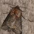 Abrostola triplasia - Rusvasis pilkūnas | Fotografijos autorius : Darius Baužys | © Macrogamta.lt | Šis tinklapis priklauso bendruomenei kuri domisi makro fotografija ir fotografuoja gyvąjį makro pasaulį.