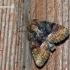 Oligia latruncula - Įvairiaspalvis stiebinukas   Fotografijos autorius : Darius Baužys   © Macrogamta.lt   Šis tinklapis priklauso bendruomenei kuri domisi makro fotografija ir fotografuoja gyvąjį makro pasaulį.