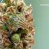 Elasmucha grisea - Alksninė skydblakė   Fotografijos autorius : Darius Baužys   © Macrogamta.lt   Šis tinklapis priklauso bendruomenei kuri domisi makro fotografija ir fotografuoja gyvąjį makro pasaulį.