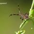 Coreus marginatus - Arkliarūgštinė kampuotblakė | Fotografijos autorius : Darius Baužys | © Macrogamta.lt | Šis tinklapis priklauso bendruomenei kuri domisi makro fotografija ir fotografuoja gyvąjį makro pasaulį.
