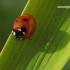 Coccinella septempunctata - Septyntaškė boružė   Fotografijos autorius : Darius Baužys   © Macrogamta.lt   Šis tinklapis priklauso bendruomenei kuri domisi makro fotografija ir fotografuoja gyvąjį makro pasaulį.