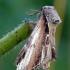 Pheosia gnoma - Beržinis kuodis | Fotografijos autorius : Darius Baužys | © Macrogamta.lt | Šis tinklapis priklauso bendruomenei kuri domisi makro fotografija ir fotografuoja gyvąjį makro pasaulį.
