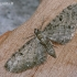 Gudobelinis sprindytis - Eupithecia virgaureata | Fotografijos autorius : Darius Baužys | © Macrogamta.lt | Šis tinklapis priklauso bendruomenei kuri domisi makro fotografija ir fotografuoja gyvąjį makro pasaulį.