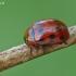 Taškuotasis dygblauzdis - Gonioctena decemnotata | Fotografijos autorius : Darius Baužys | © Macrogamta.lt | Šis tinklapis priklauso bendruomenei kuri domisi makro fotografija ir fotografuoja gyvąjį makro pasaulį.