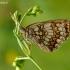 Paprastoji šaškytė - Melitaea athalia | Fotografijos autorius : Darius Baužys | © Macrogamta.lt | Šis tinklapis priklauso bendruomenei kuri domisi makro fotografija ir fotografuoja gyvąjį makro pasaulį.