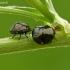 Dobilinė kamuolblakė - Coptosoma scutellatum   Fotografijos autorius : Darius Baužys   © Macrogamta.lt   Šis tinklapis priklauso bendruomenei kuri domisi makro fotografija ir fotografuoja gyvąjį makro pasaulį.