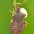 Arkliarūgštinė blakė - Coreus marginatus | Fotografijos autorius : Darius Baužys | © Macrogamta.lt | Šis tinklapis priklauso bendruomenei kuri domisi makro fotografija ir fotografuoja gyvąjį makro pasaulį.