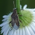Ryškiapilvė kampuotblakė - Stictopleurus punctatonervosus | Fotografijos autorius : Darius Baužys | © Macrogamta.lt | Šis tinklapis priklauso bendruomenei kuri domisi makro fotografija ir fotografuoja gyvąjį makro pasaulį.