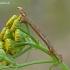Mėlyninis žievėsprindis - Ectropis crepuscularia, vikšras | Fotografijos autorius : Darius Baužys | © Macrogamta.lt | Šis tinklapis priklauso bendruomenei kuri domisi makro fotografija ir fotografuoja gyvąjį makro pasaulį.