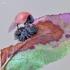 """""""Šviežiai"""" išsiritusi boružėlė.   Fotografijos autorius : Darius Baužys   © Macrogamta.lt   Šis tinklapis priklauso bendruomenei kuri domisi makro fotografija ir fotografuoja gyvąjį makro pasaulį."""