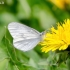 Garstytė - Leptidea sp. | Fotografijos autorius : Darius Baužys | © Macrogamta.lt | Šis tinklapis priklauso bendruomenei kuri domisi makro fotografija ir fotografuoja gyvąjį makro pasaulį.