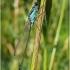 Ischnura elegans - Elegantiškoji strėliukė   Fotografijos autorius : Darius Baužys   © Macrogamta.lt   Šis tinklapis priklauso bendruomenei kuri domisi makro fotografija ir fotografuoja gyvąjį makro pasaulį.