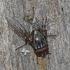 Muscina stabulans - Tikramusė | Fotografijos autorius : Darius Baužys | © Macrogamta.lt | Šis tinklapis priklauso bendruomenei kuri domisi makro fotografija ir fotografuoja gyvąjį makro pasaulį.