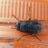 Calliphora sp. - Melsvoji lavonmusė | Fotografijos autorius : Darius Baužys | © Macrogamta.lt | Šis tinklapis priklauso bendruomenei kuri domisi makro fotografija ir fotografuoja gyvąjį makro pasaulį.