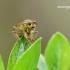 Scathophaga stercoraria – Geltonoji mėšlamusė | Fotografijos autorius : Darius Baužys | © Macrogamta.lt | Šis tinklapis priklauso bendruomenei kuri domisi makro fotografija ir fotografuoja gyvąjį makro pasaulį.