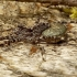 Acantholycosa lignaria - Miškinis puvėsinukas | Fotografijos autorius : Romas Ferenca | © Macrogamta.lt | Šis tinklapis priklauso bendruomenei kuri domisi makro fotografija ir fotografuoja gyvąjį makro pasaulį.