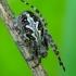 Ąžuolalapis verpstūnas - Aculepeira ceropegia | Fotografijos autorius : Romas Ferenca | © Macrogamta.lt | Šis tinklapis priklauso bendruomenei kuri domisi makro fotografija ir fotografuoja gyvąjį makro pasaulį.