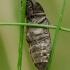 Kanapėtasis spragšis - Agrypnus murinus | Fotografijos autorius : Romas Ferenca | © Macrogamta.lt | Šis tinklapis priklauso bendruomenei kuri domisi makro fotografija ir fotografuoja gyvąjį makro pasaulį.