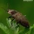 Agrypnus murinus - Kanapėtasis spragšis | Fotografijos autorius : Romas Ferenca | © Macrogamta.lt | Šis tinklapis priklauso bendruomenei kuri domisi makro fotografija ir fotografuoja gyvąjį makro pasaulį.